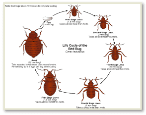 Bed Bug Bites NYC , Bed Bug Pictures NYC , Bed Bug Eggs NYC , Bed Bug Images NYC